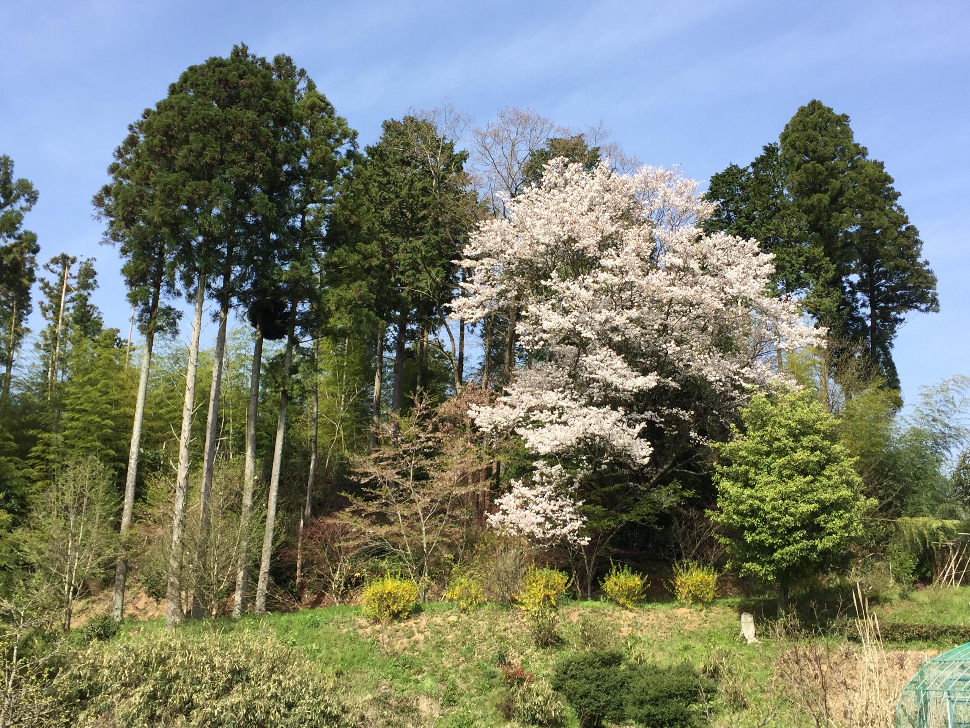 セローでツーリング 滋賀〜奈良の桜