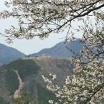 セローでツーリング 篠山城跡の桜〜樽見の大桜
