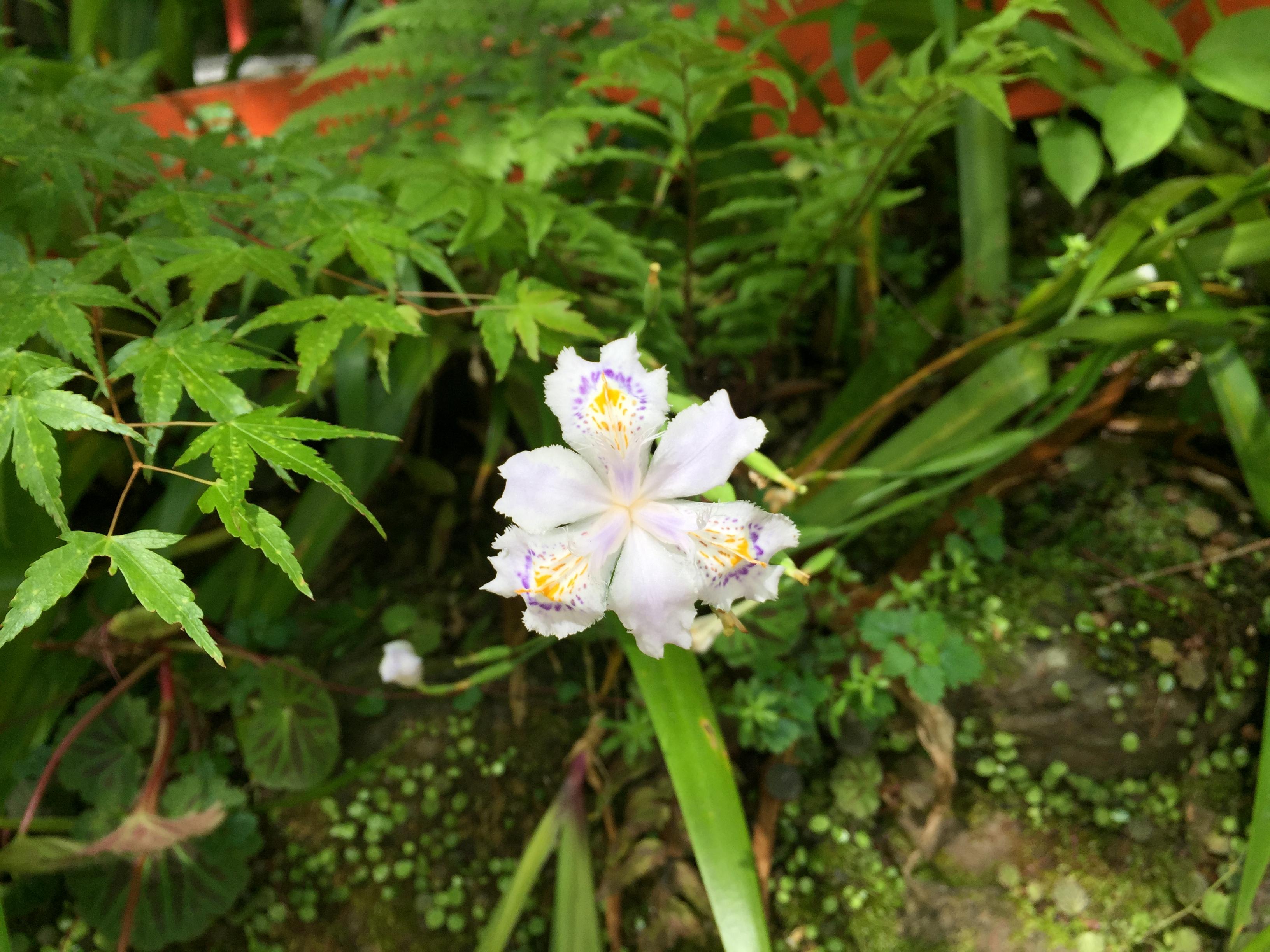 セローでお散歩 京都の奥座敷 射干の花