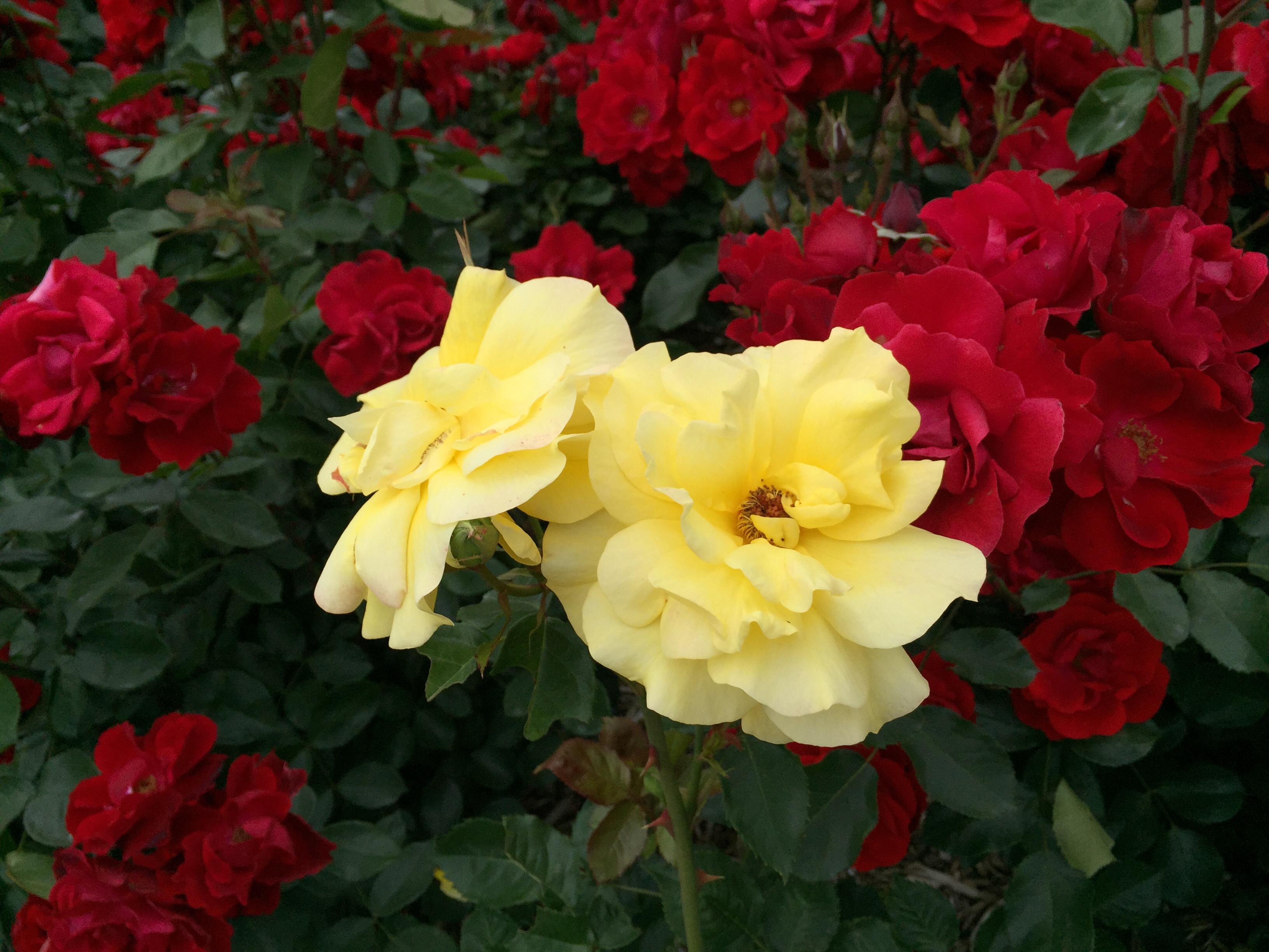 セローでお散歩 播磨中央公園の薔薇