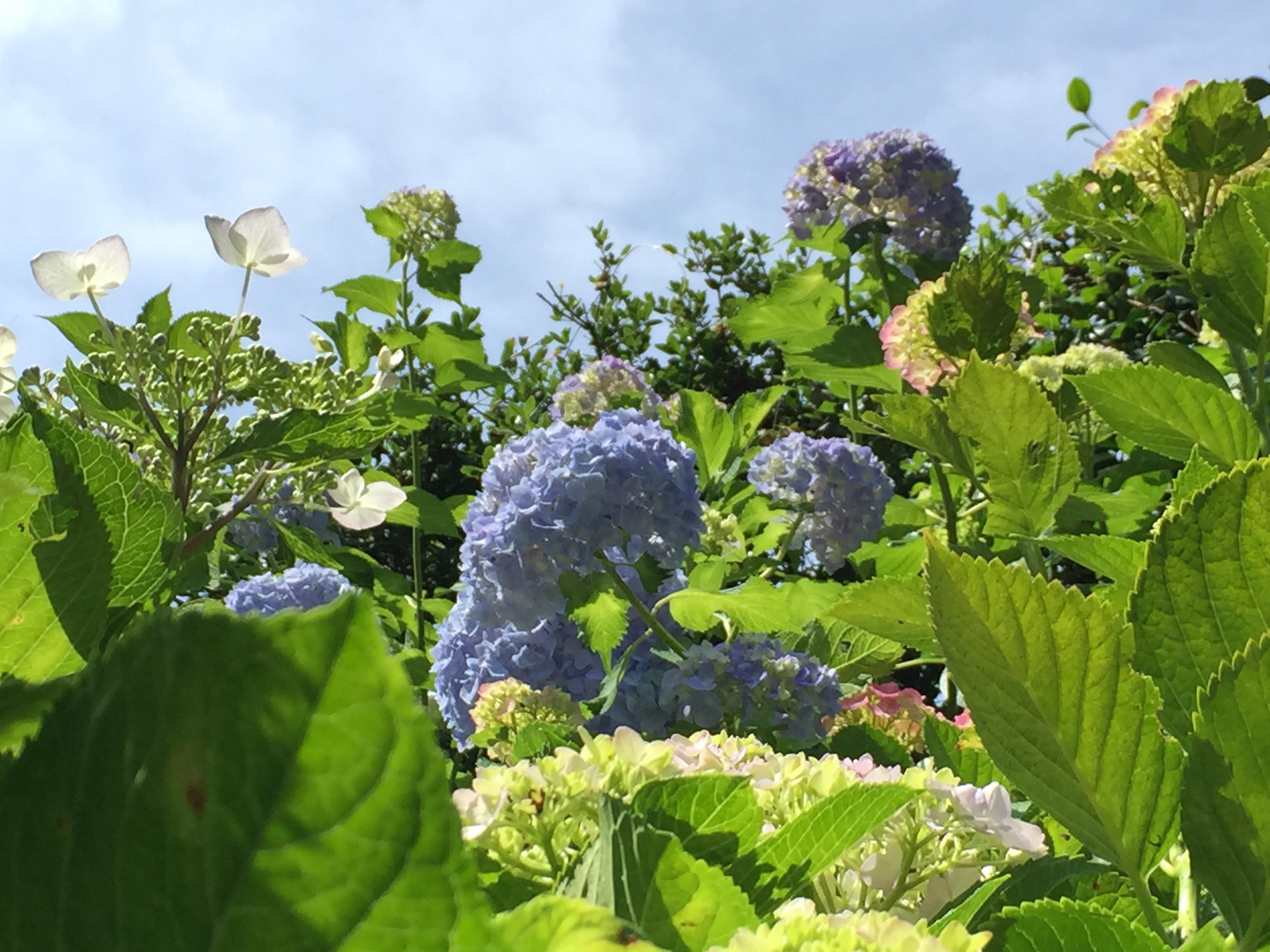 セローでお散歩 矢田寺(奈良)の紫陽花