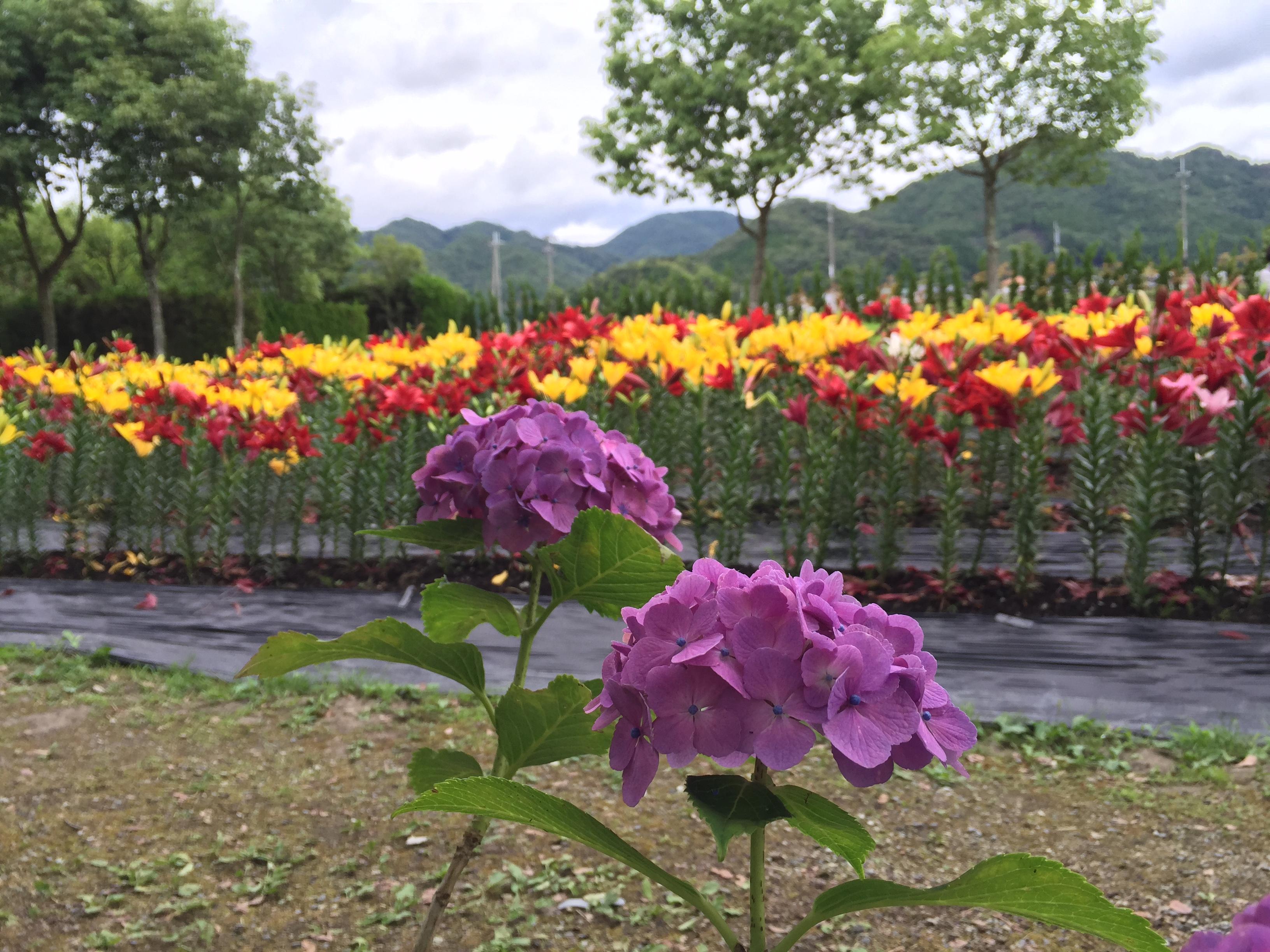 セローでお散歩 丹波篠山のユリと紫陽花