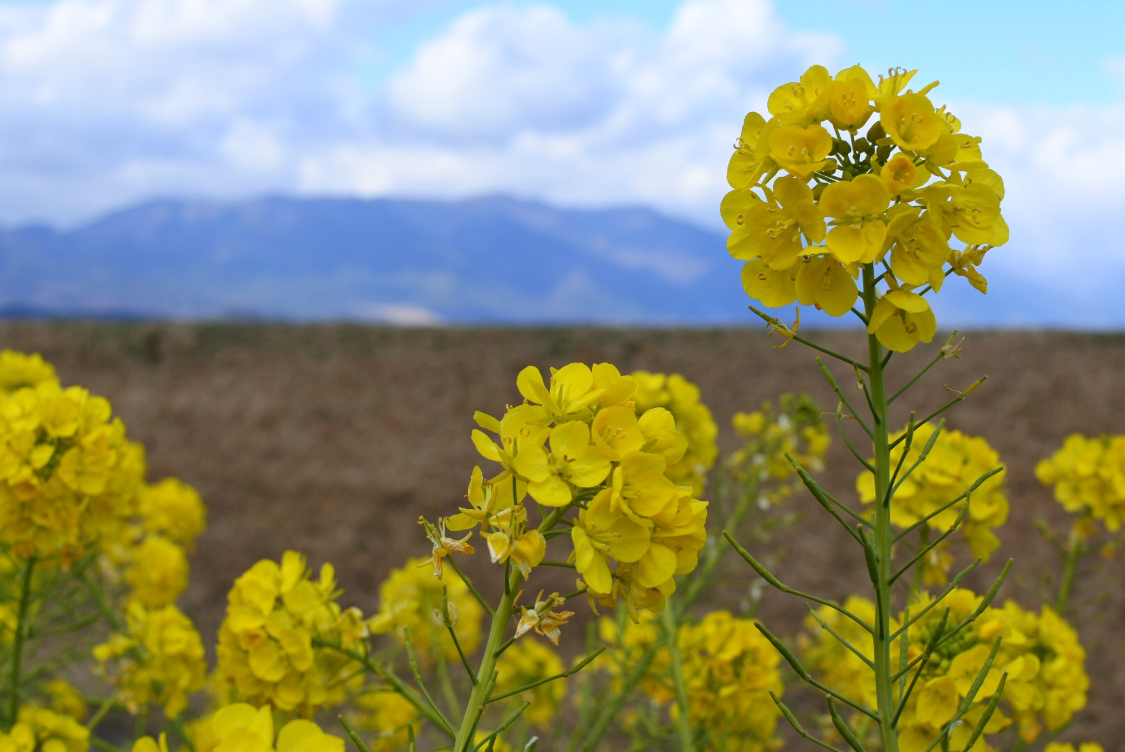 セローでお散歩 琵琶湖の湖畔に咲く 菜の花