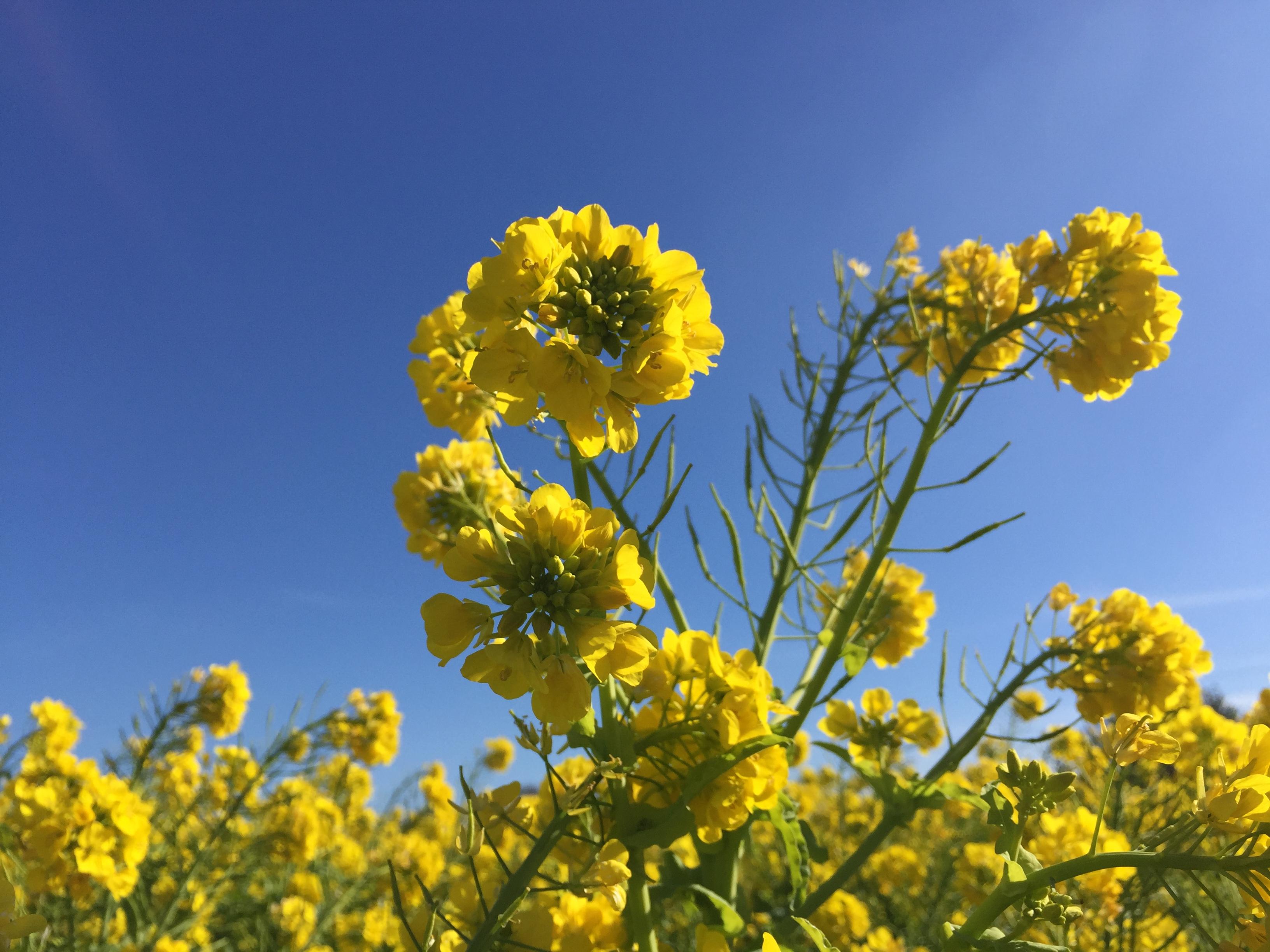 ハスラーでお散歩 田原の菜の花