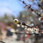 セローでお散歩 京都 早咲きの梅