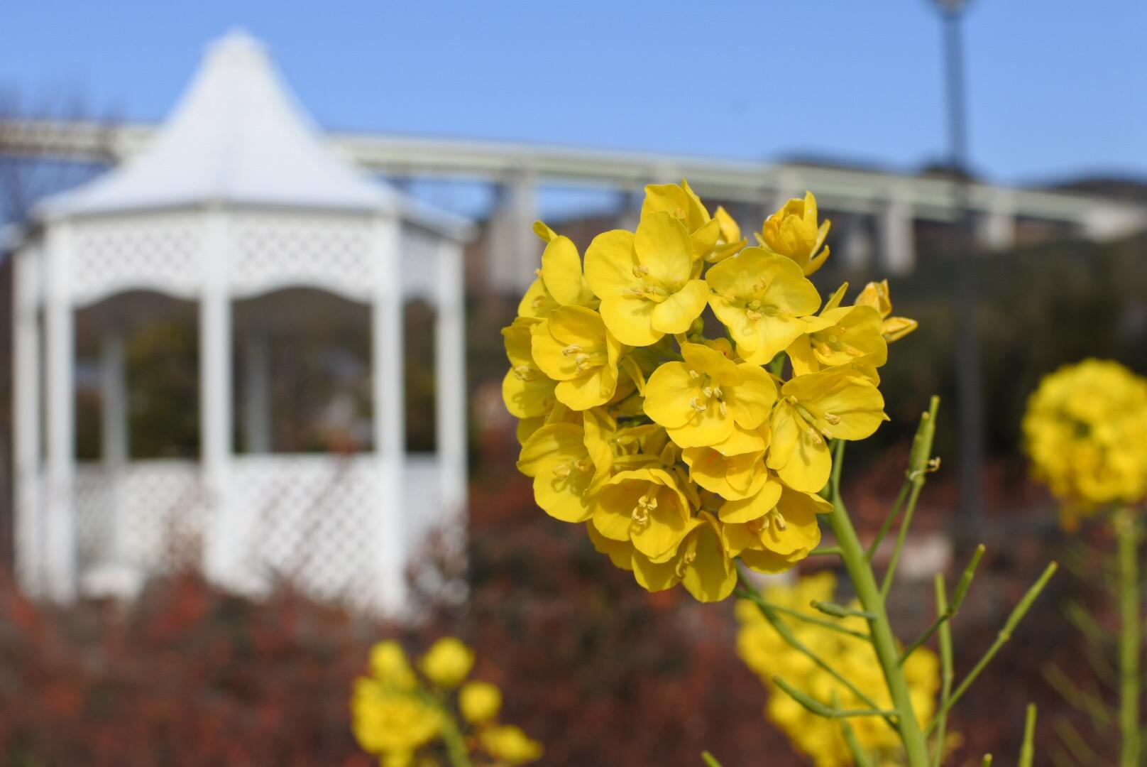 セローでツーリング 淡路島の菜の花と水仙