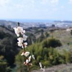 セローでお散歩 南部梅林の梅
