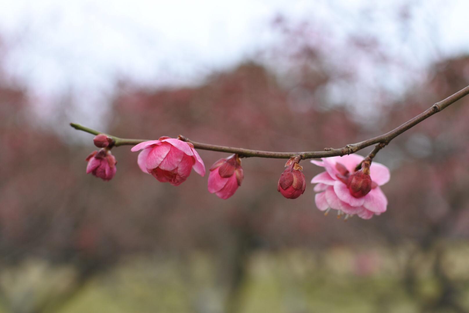 セローでお散歩 服部緑地公園の梅