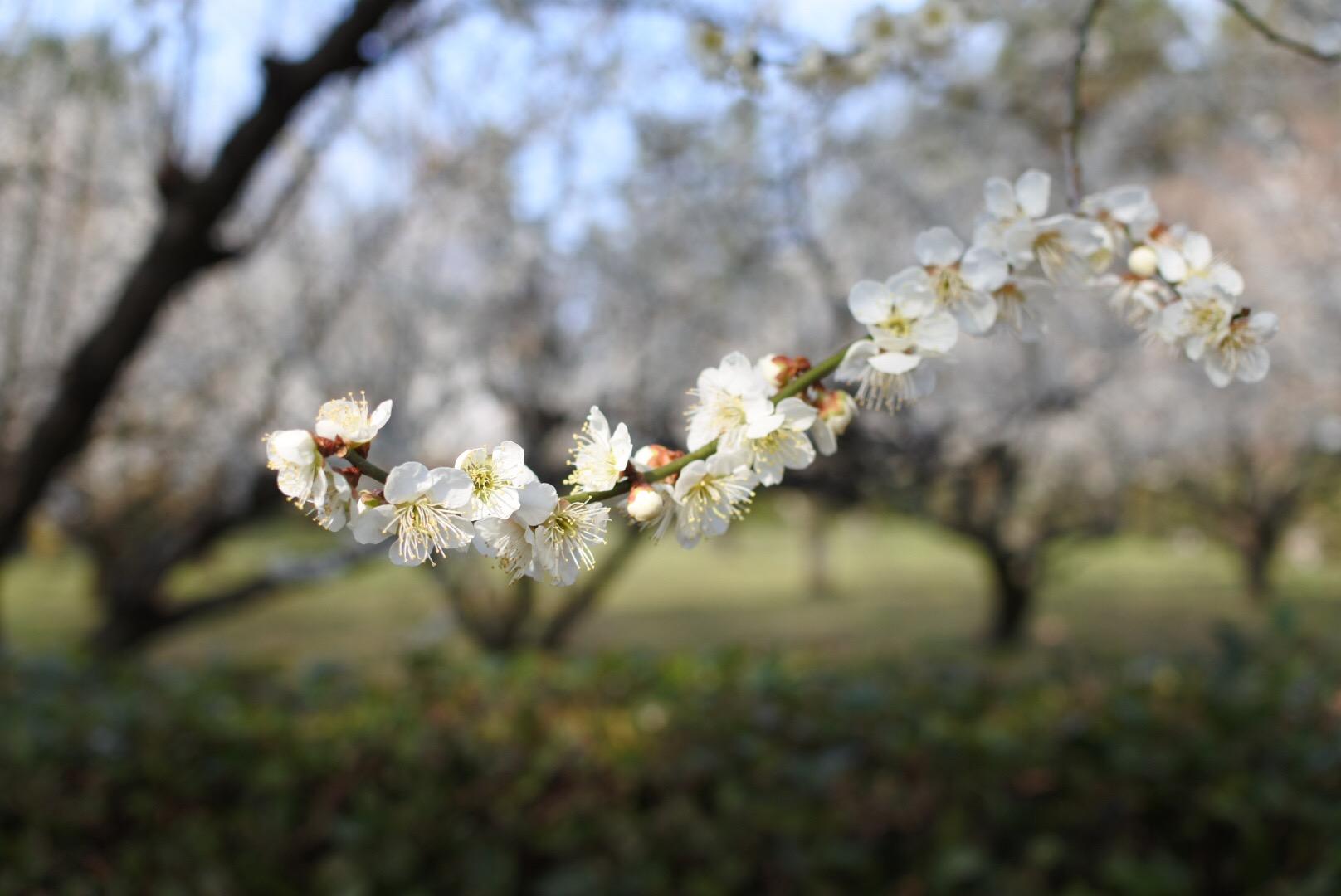 セローでお散歩 亀山城址の梅〜京都伏見の河津桜〜月ヶ瀬梅渓