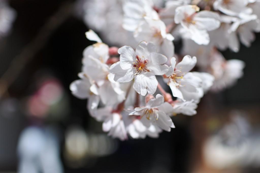 氷室神社の枝垂桜_000