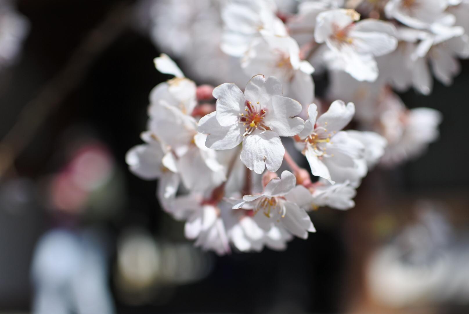 セローでお散歩 氷室神社の枝垂桜