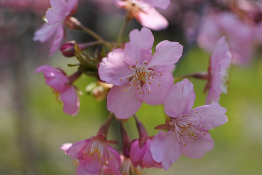 京都の河津桜_000