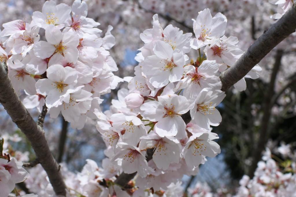 京北の桜_000