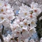 セローでお散歩 京北の桜