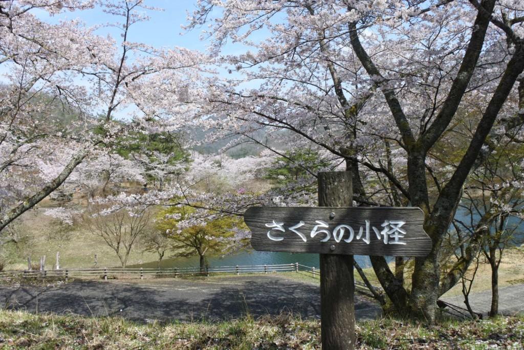 大野ダム公園の桜_000