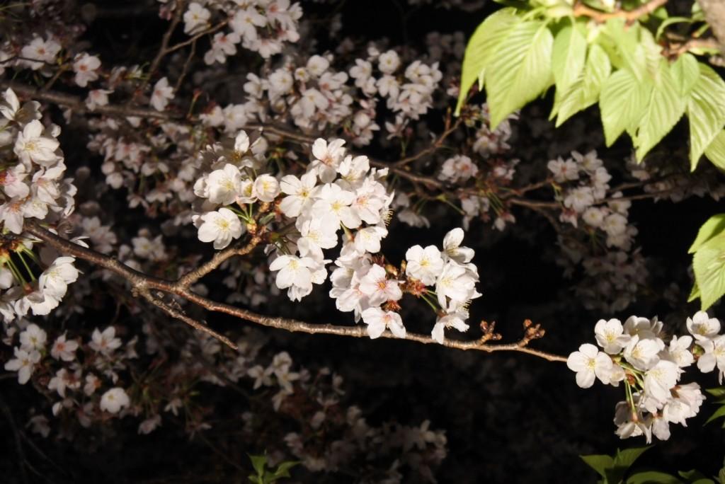 造幣局の桜_000