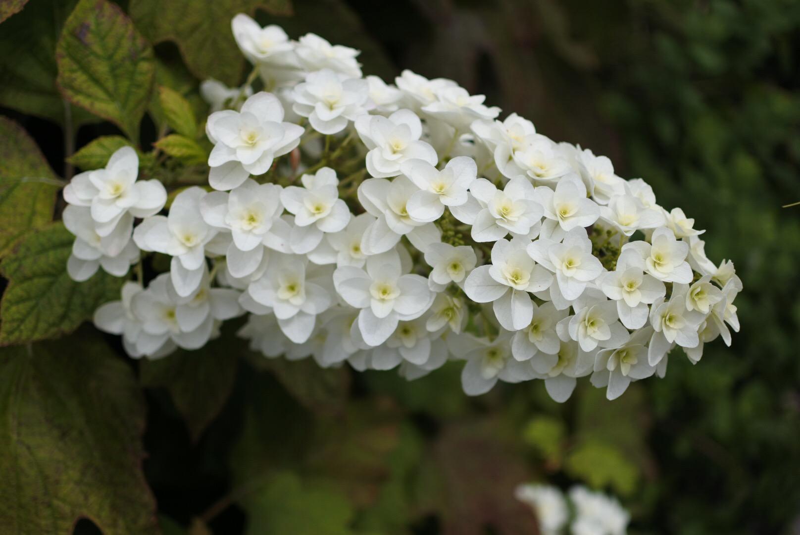 近所をお散歩 6月の花