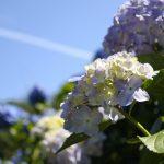 セローでお散歩 高月院とあじさいの里の紫陽花