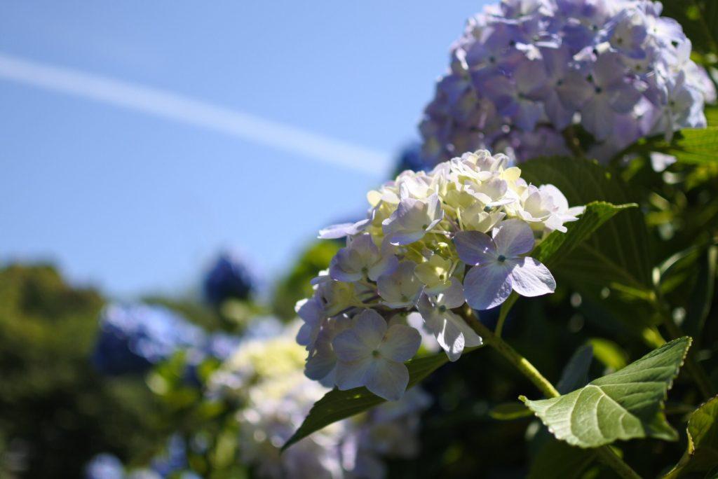 高月院の紫陽花_000