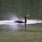 望遠で撮った水鳥_005
