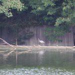 望遠で撮った水鳥_004
