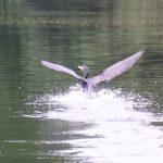 望遠で撮った水鳥_008
