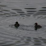 望遠で撮った水鳥_003