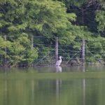 望遠で撮った水鳥_001