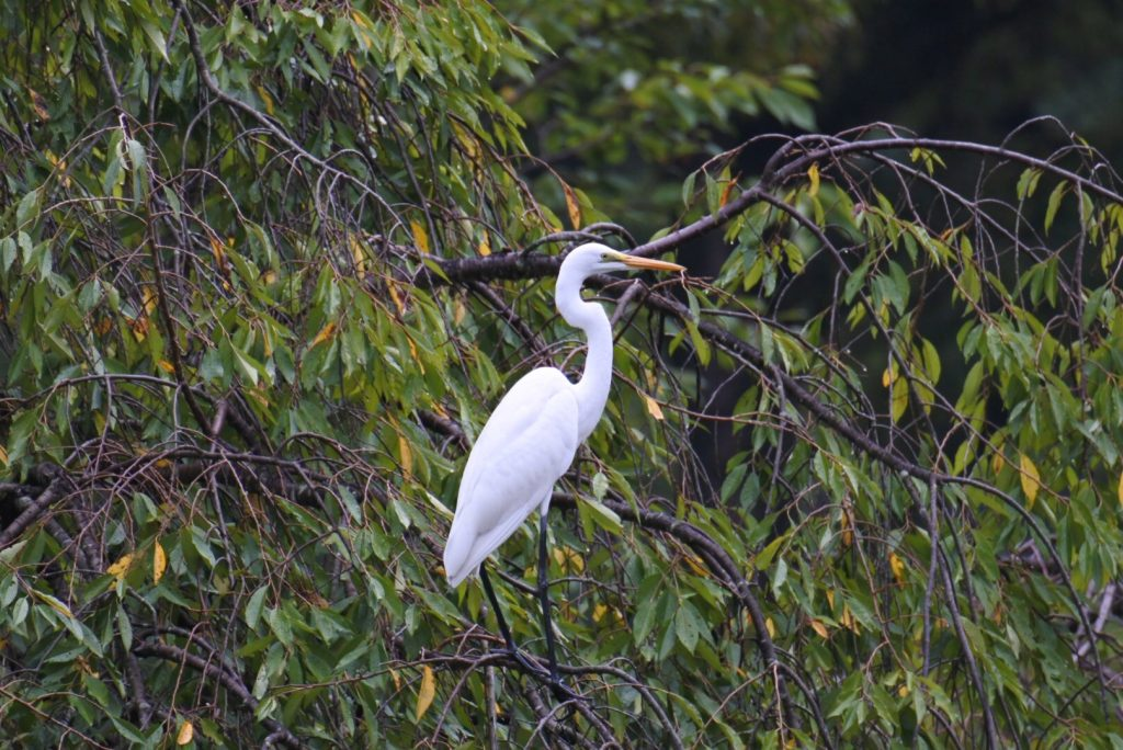 森林公園の水鳥_001