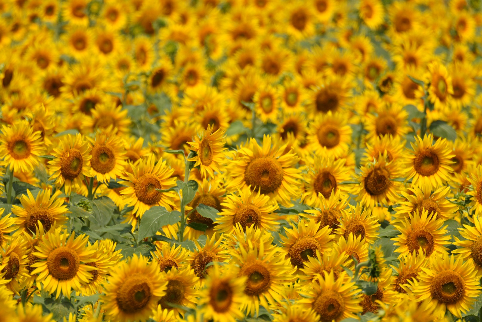 南知多の向日葵(ひまわり)