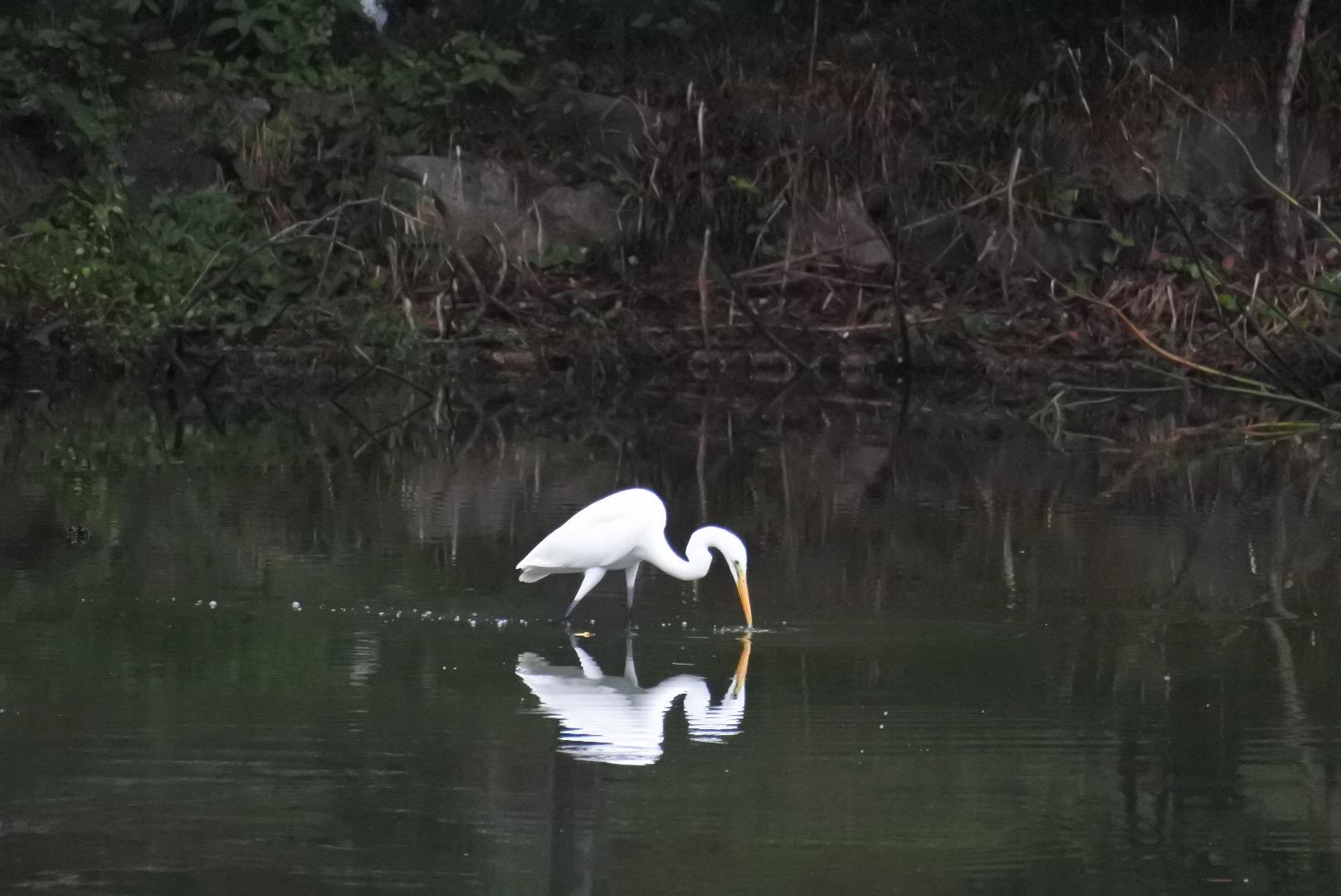 近くの公園の水鳥