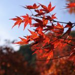 セローでお散歩 香嵐渓の紅葉