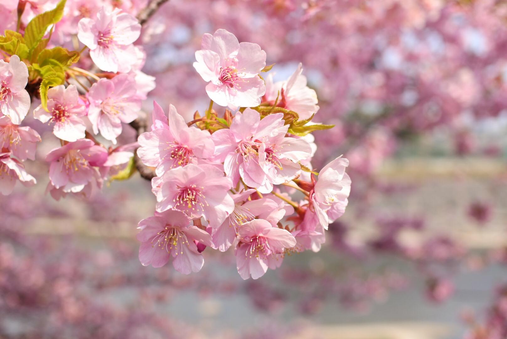 セローでお散歩 岡崎の葵桜(河津桜)