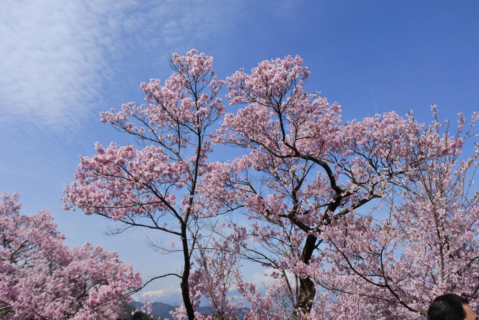 セローでお散歩 長野の高遠桜