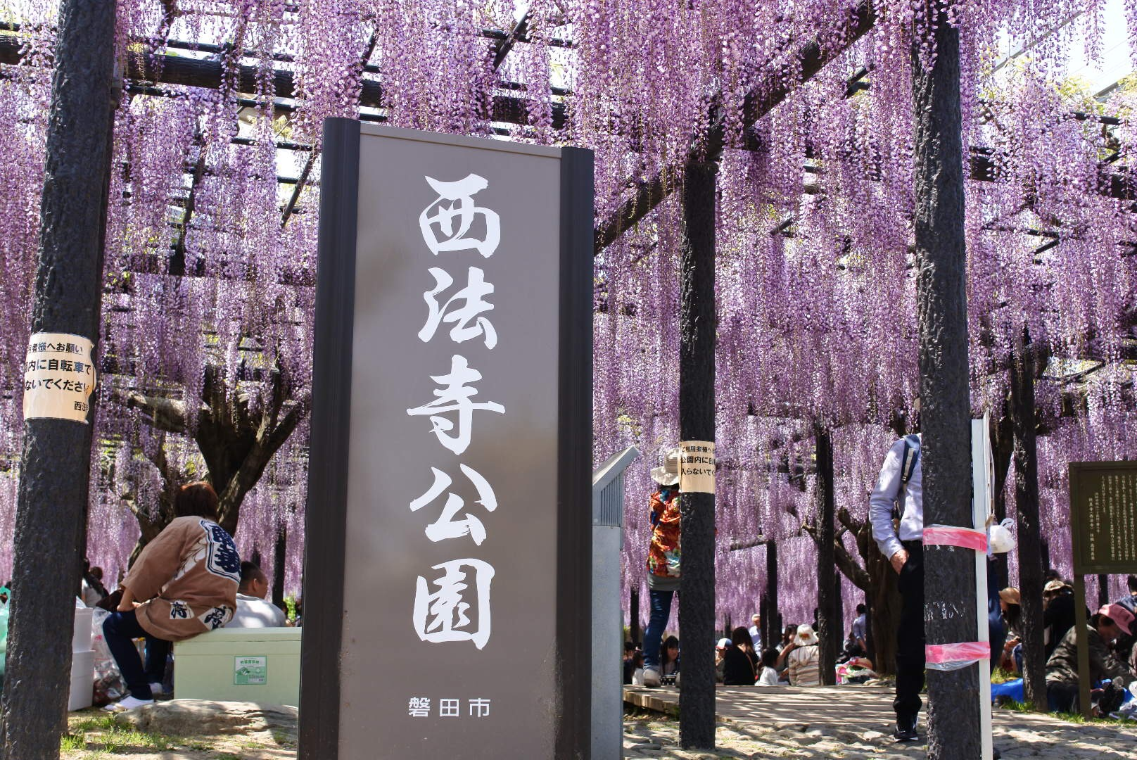 セローでお散歩 熊野の長藤