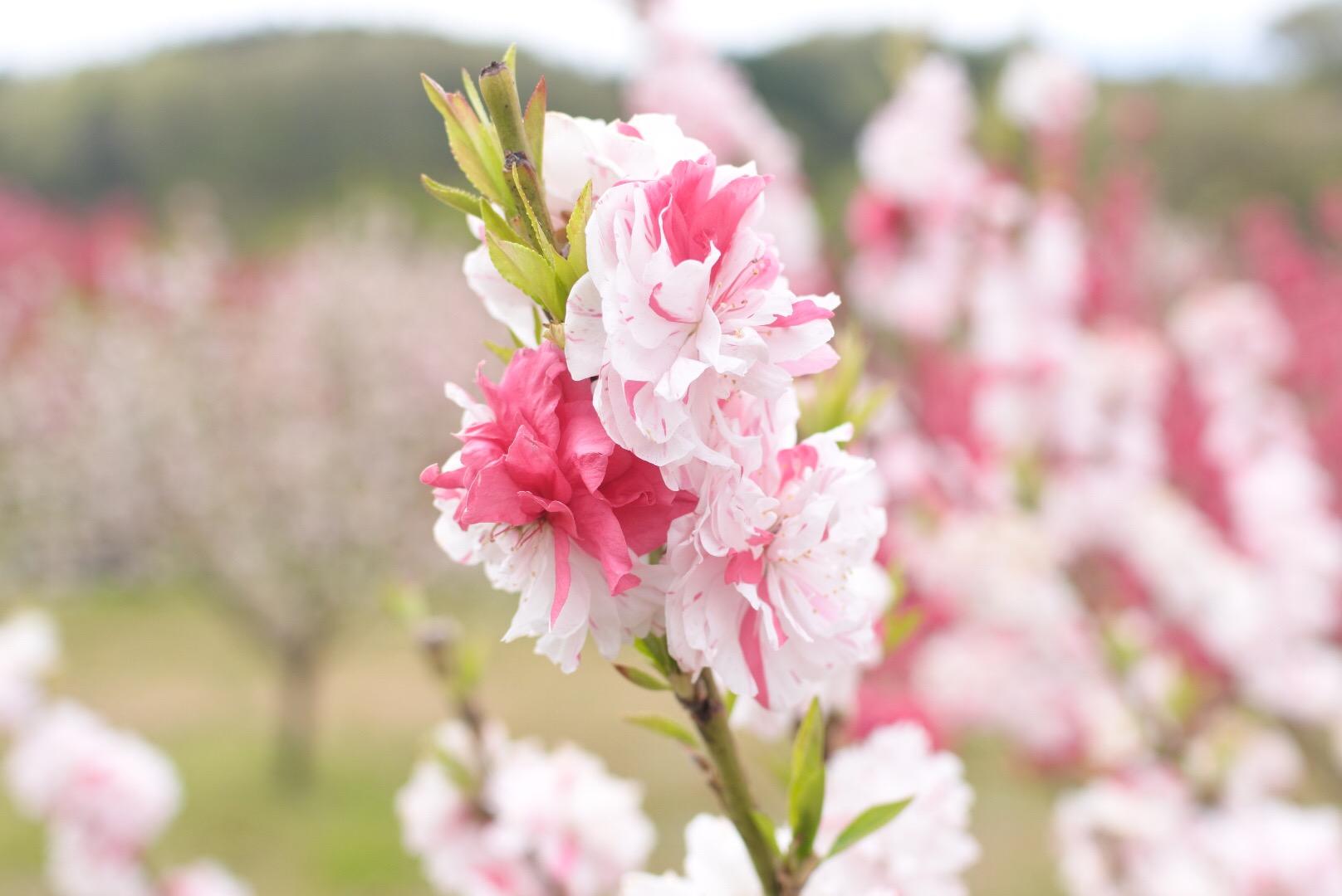 セローでお散歩 長野の花桃