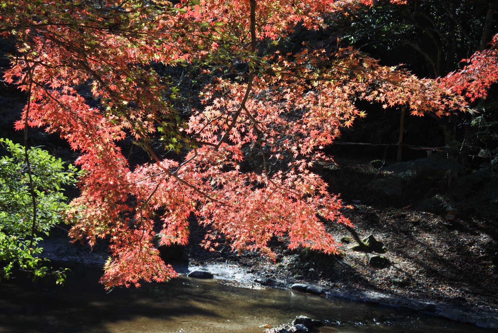 セローでお散歩 岩屋堂の紅葉