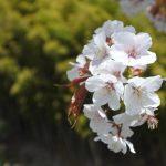 セローでお散歩 三多気の桜