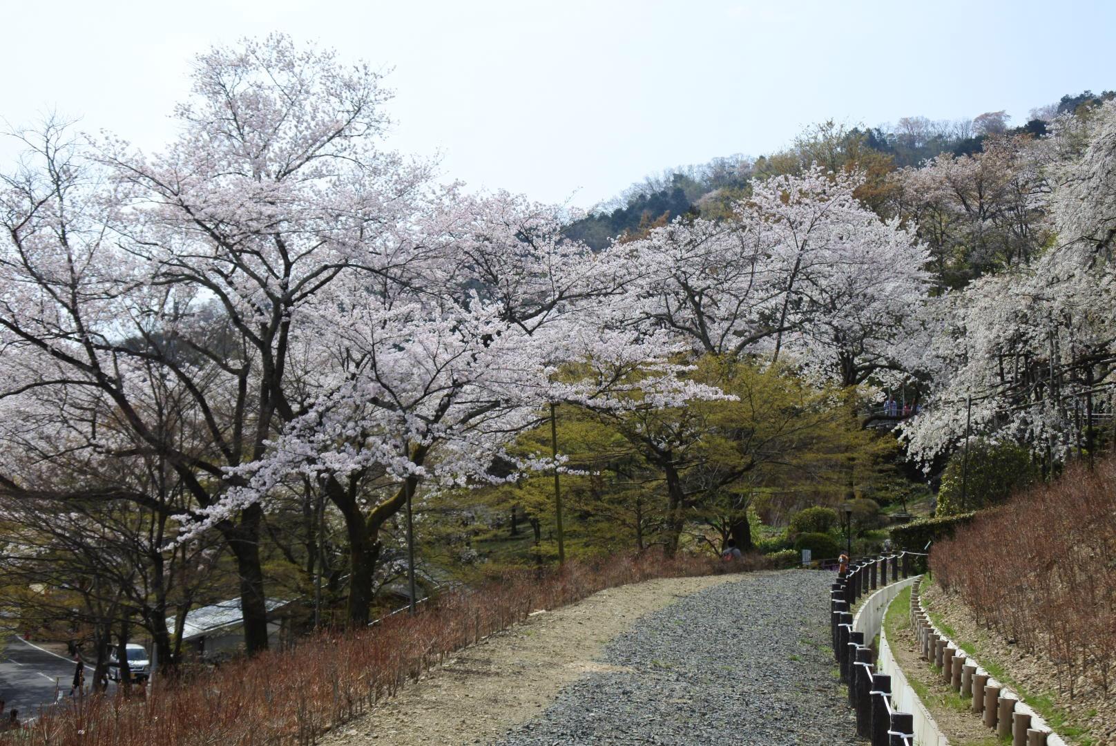 セローでお散歩 霞間ヶ渓と華厳寺の桜