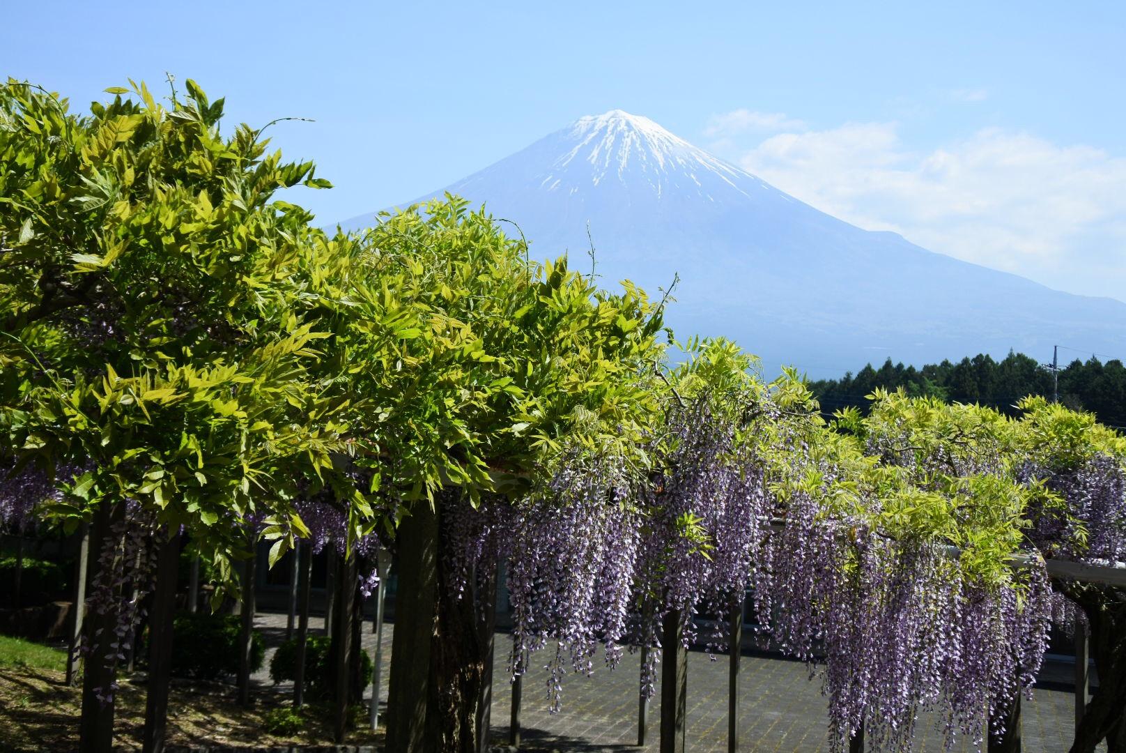 セローでお散歩 富士山と藤