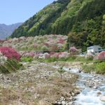 セローでお散歩 月川温泉の花ももとふじの回廊