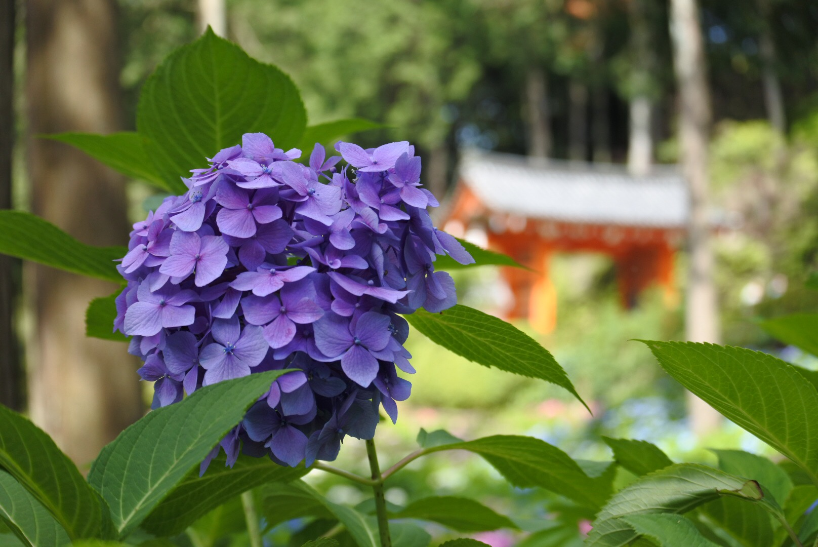 XMAXでお散歩 京都と伊賀の紫陽花