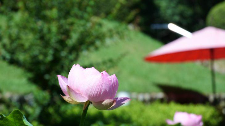XMAXでお散歩 福井の花はす
