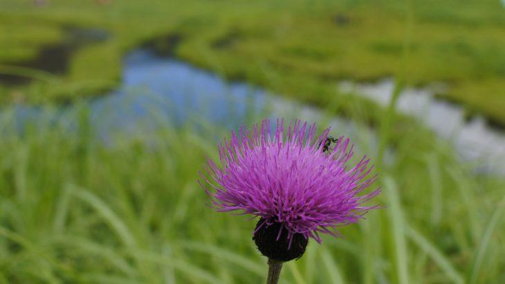 XMAXでお散歩 車山高原の花