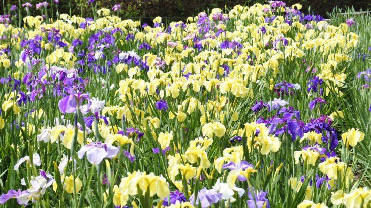 XMAXでお散歩 賀茂しょうぶ園の花菖蒲