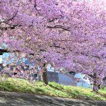 XMAXでお散歩 乙川土手の葵桜