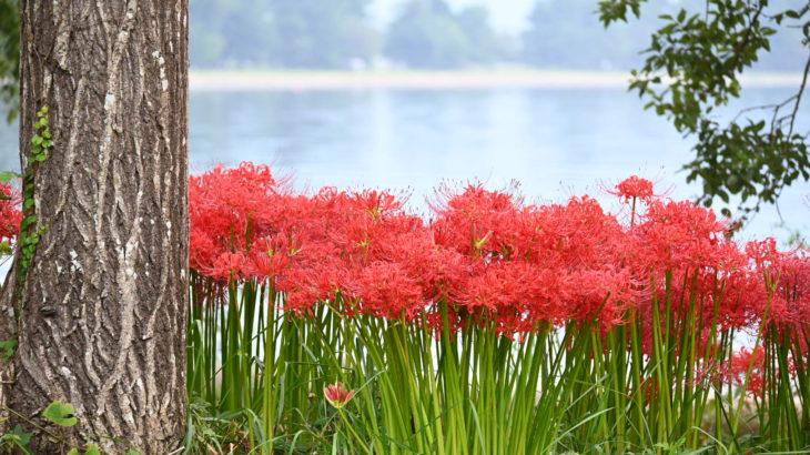 XMAXでお散歩 琵琶湖の彼岸花