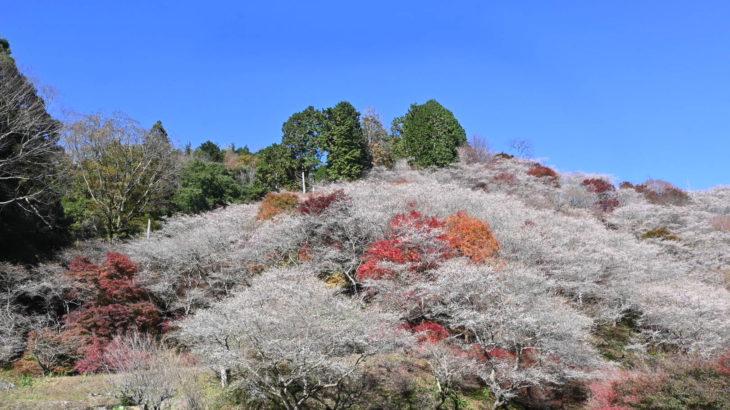XMAXでお散歩 小原の四季桜