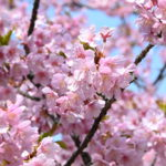 SIENTAでお散歩 聖崎公園の河津桜と佐布里池の梅