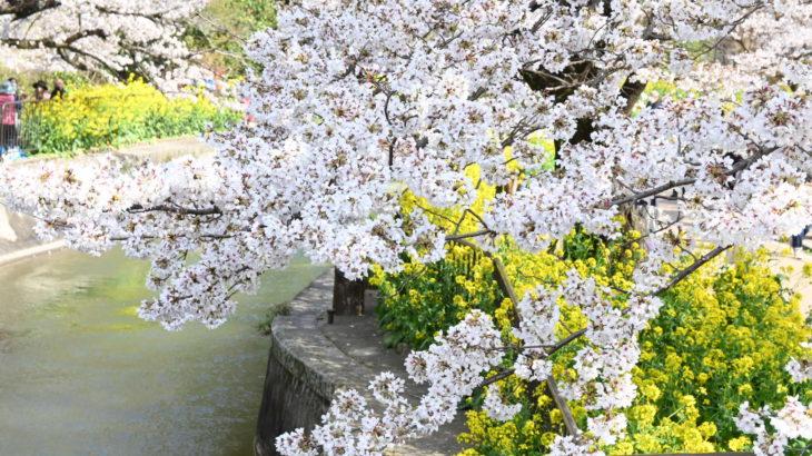 XMAXでお散歩 京都山科の桜